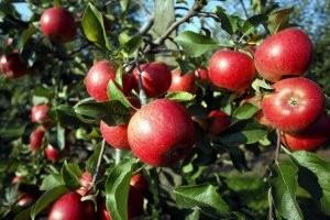 ekologiczne-jablka