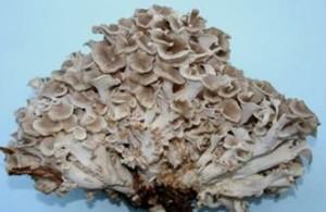 Polyporus umbellatus1