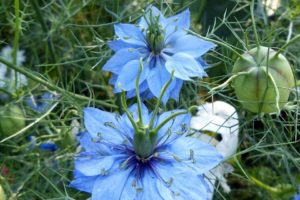 czarnuszka-kwiat